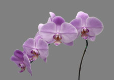 Beautiful flower Orchid, blue Phalaenopsis close-up. Stock Photos