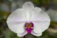 Beautiful flower orchid on a branch close-up. Royalty Free Stock Images