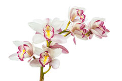 Beautiful Flower Orchid isolated on white background Stock Photo