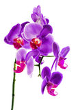 Beautiful flower Orchid Royalty Free Stock Photo