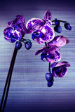 Beautiful flower Orchid, phalaenopsis Stock Photo