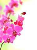 Beautiful flower Orchid pink phalaenopsis Royalty Free Stock Photos