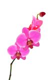 Beautiful flower Orchid, pink phalaenopsis close-up isolated Royalty Free Stock Photo