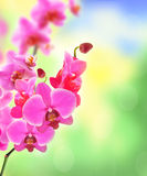 Beautiful flower Orchid pink phalaenopsis over bright nature Royalty Free Stock Image