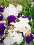 Beautiful flower. Original flower of an iris on a bed Royalty Free Stock Images