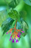 Beautiful flower of the Palicourea marcgravii, poisonous plant Stock Photography