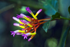 Beautiful flower of the Palicourea marcgravii, poisonous plant Stock Image