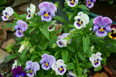 Beautiful flower pansy Stock Photo
