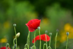 Beautiful flower of Papaver rhoeas common poppy, corn rose, field poppy or red poppy royalty free stock images