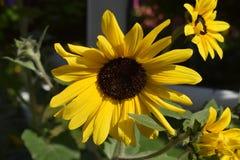 Beautiful sunflower in the garden stock photos