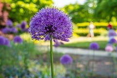 Violet flower in park royalty free stock image