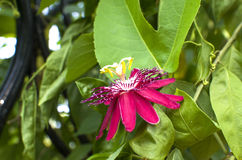 Beautiful flower the Passionflower of red color Royalty Free Stock Photo