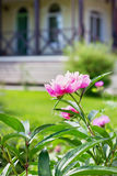 Beautiful flower peony against country cottage Royalty Free Stock Photo