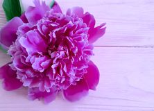 Beautiful flower peony decoration birthday romantic on pink wooden background. frame. Beautiful flower peony on pink wooden background romantic summer birthday stock photos