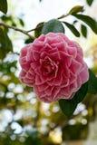 Pink camellia Stock Photos