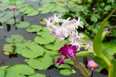 It is beautiful flower Pink Orchid at Red Lotus Floating Maket B royalty free stock image