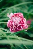 Beautiful flower of pink peony on green nature background. Macro shoot. stock photos