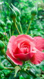 Beautiful flower pink rose Stock Photo