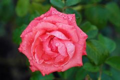 Beautiful flower pink rose in summer garden. View Royalty Free Stock Photography