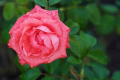 Beautiful flower pink rose in summer garden. View Royalty Free Stock Image