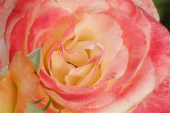 Beautiful flower pink rose in summer garden. View Stock Photo
