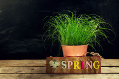 Beautiful Flower Pot with Fresh Green Grass on Wooden Table. Hor Stock Photo