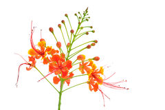 Beautiful Flower (Pride of Barbados) isolate on black background Royalty Free Stock Image