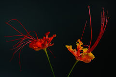 Beautiful Flower (Pride of Barbados) isolate on black background Stock Image