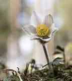 Beautiful flower Pulsatilla vernalis royalty free stock photo