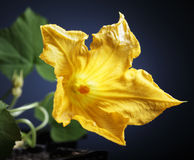 Beautiful flower pumpkin flower Stock Photos