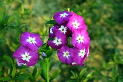 Beautiful Flower. Beautiful Purple  Flower Stock Image