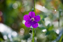 Beautiful flower of a purple hue in drops of morning dew on a forest glade Stock Photos