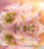 Beautiful flower is in the rays of light, blured and colored reflection in water Royalty Free Stock Images