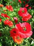 Beautiful flower of red poppy Royalty Free Stock Photography