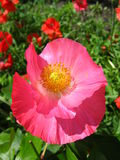 Beautiful flower of red poppy Royalty Free Stock Images