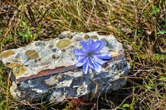 Beautiful flower on a rock. Flower on a rock in summer Stock Images
