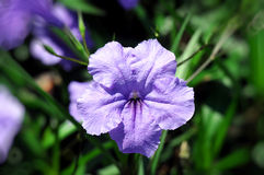 Beautiful flower Ruellia squarrosa close-up center focus Stock Photos
