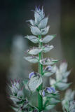 Beautiful flower sage with its elegant buds Stock Image