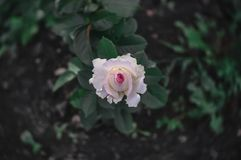 Beautiful flower, small pink rose on a blurred green dark background stock photography