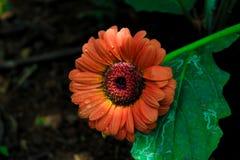 Beautiful flower  in sri lanka jungle. Orange beautiful flower sri lanka jungle royalty free stock photography