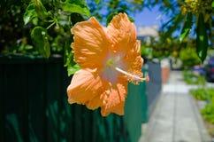 Beautiful flower, Suburban Street, Houses, Sydney Australia Royalty Free Stock Image