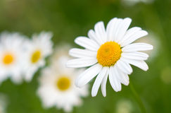 Beautiful flower in summer. Beautiful daisy in bloom with bright color Stock Photography