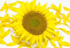 Beautiful flower of a sunflower. On a white background Royalty Free Stock Photos