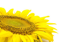 Beautiful flower of a sunflower. On a white background Stock Photos