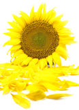 Beautiful flower of a sunflower. On a white background Stock Photo
