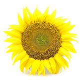 Beautiful flower of a sunflower. On a white background Royalty Free Stock Photography