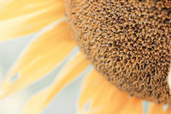 Beautiful flower of a sunflower Stock Photos