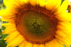 Beautiful flower of a sunflower. Bright colorful and juicy flower or flowers growing on a sunflower field photo for micro-stock Royalty Free Stock Photo
