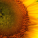 Beautiful flower of a sunflower. Bright colorful and juicy flower or flowers growing on a sunflower field photo for micro-stock Stock Photo