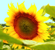 Beautiful flower of a sunflower. Bright colorful and juicy flower or flowers growing on a sunflower field photo for micro-stock Royalty Free Stock Image